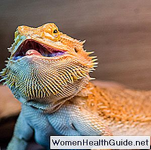 Bearded Dragon Fakten