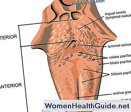 Lengua | Anatomía, partes, imágenes, diagrama de la lengua humana ...